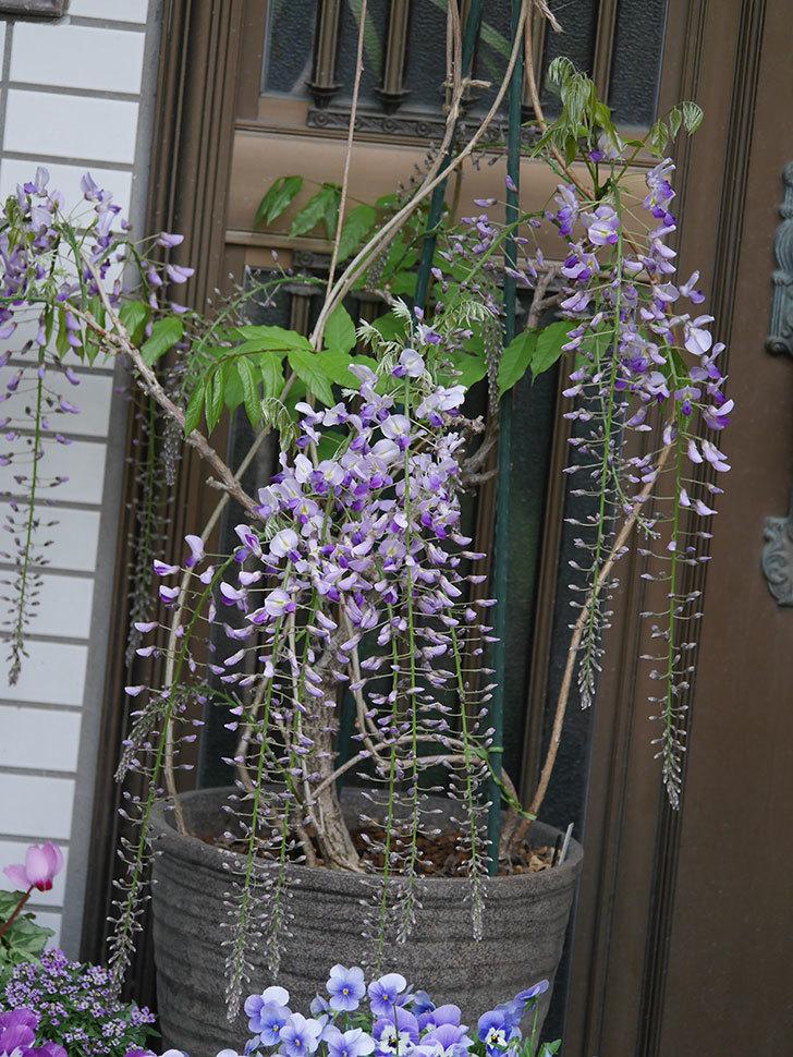 フジ(藤)の花が増えてきた。2021年-015.jpg