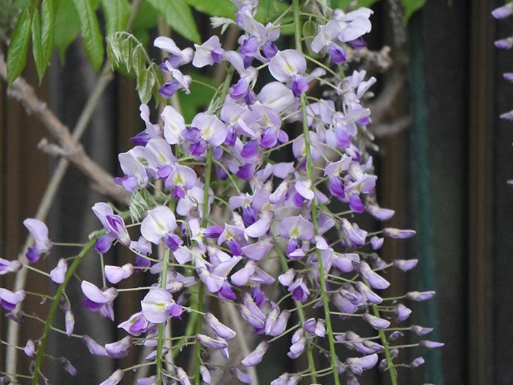 フジ(藤)の花が増えてきた。2021年-016.jpg