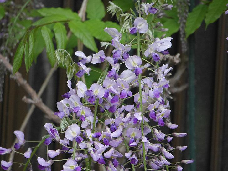 フジ(藤)の花が増えてきた。2021年-018.jpg