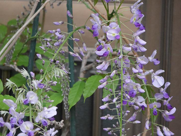 フジ(藤)の花が増えてきた。2021年-019.jpg