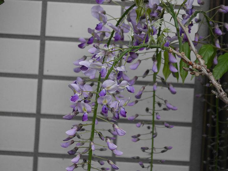フジ(藤)の花が増えてきた。2021年-020.jpg