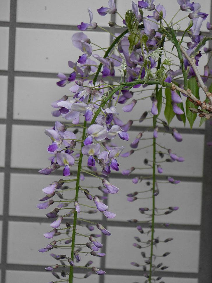 フジ(藤)の花が増えてきた。2021年-021.jpg