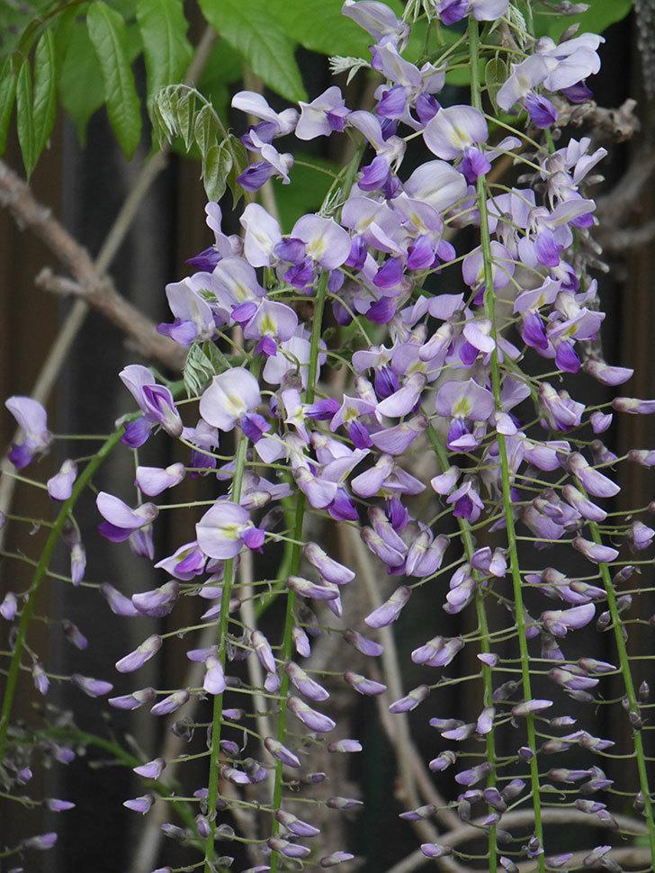 フジ(藤)の花が増えてきた。2021年-022.jpg