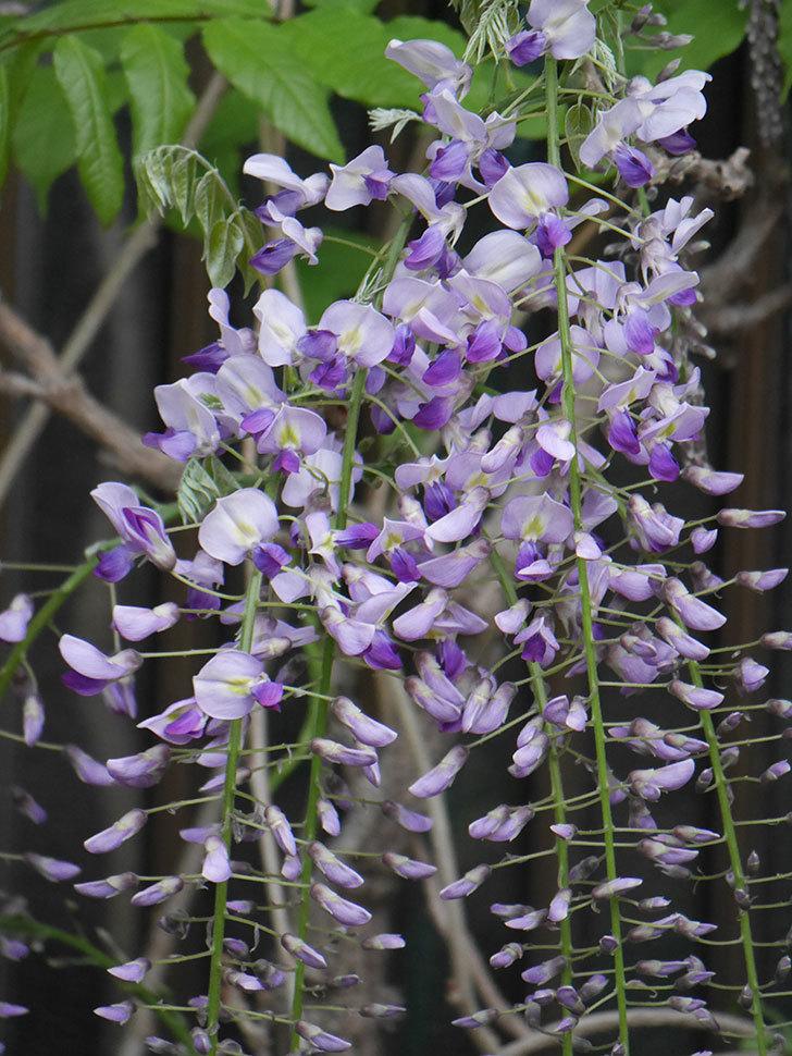 フジ(藤)の花が増えてきた。2021年-023.jpg