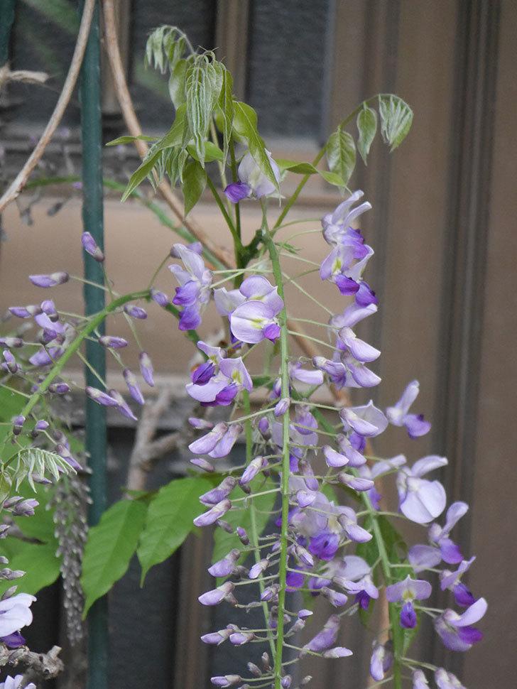 フジ(藤)の花が増えてきた。2021年-024.jpg