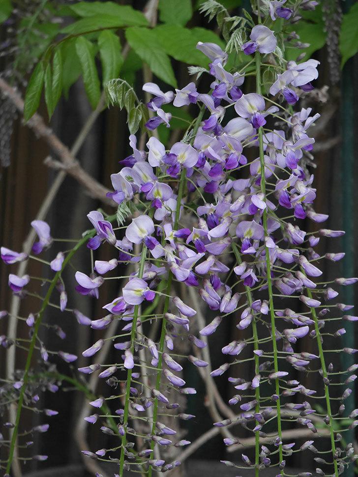 フジ(藤)の花が増えてきた。2021年-025.jpg