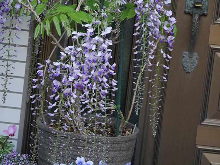 フジ(藤)の花が増えてきた。2021年-026.jpg