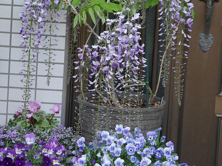 フジ(藤)の花が増えてきた。2021年-028.jpg