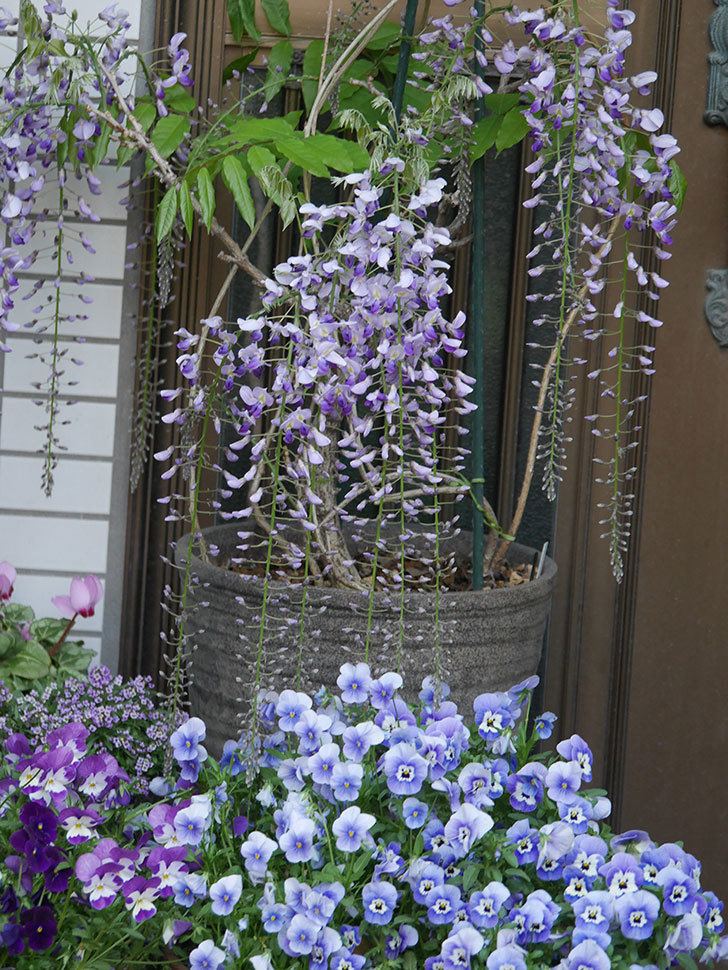 フジ(藤)の花が増えてきた。2021年-029.jpg