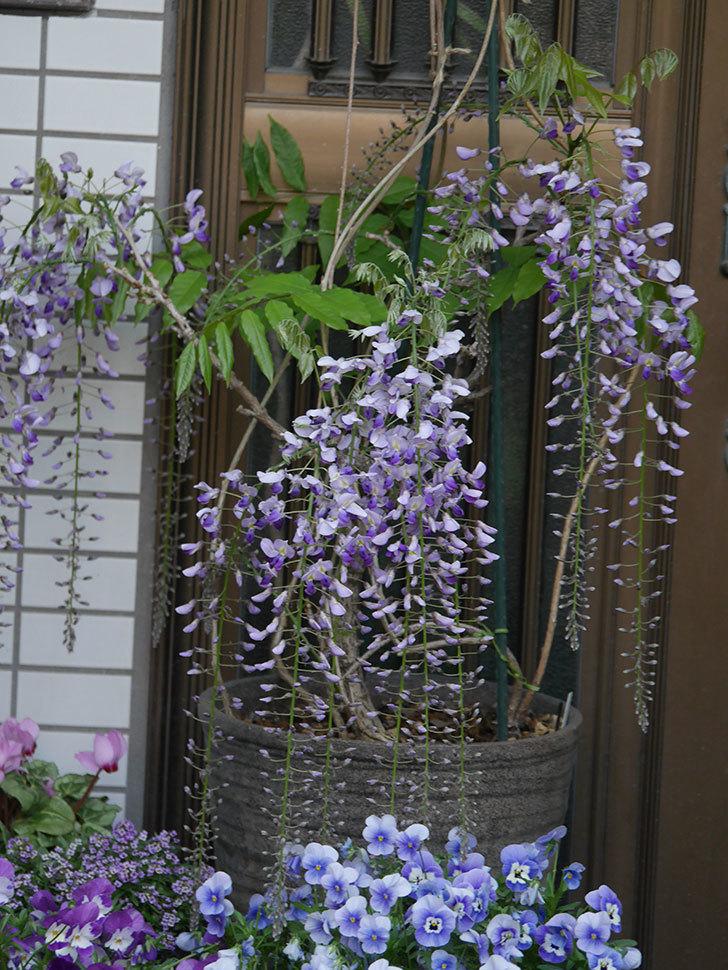 フジ(藤)の花が増えてきた。2021年-030.jpg