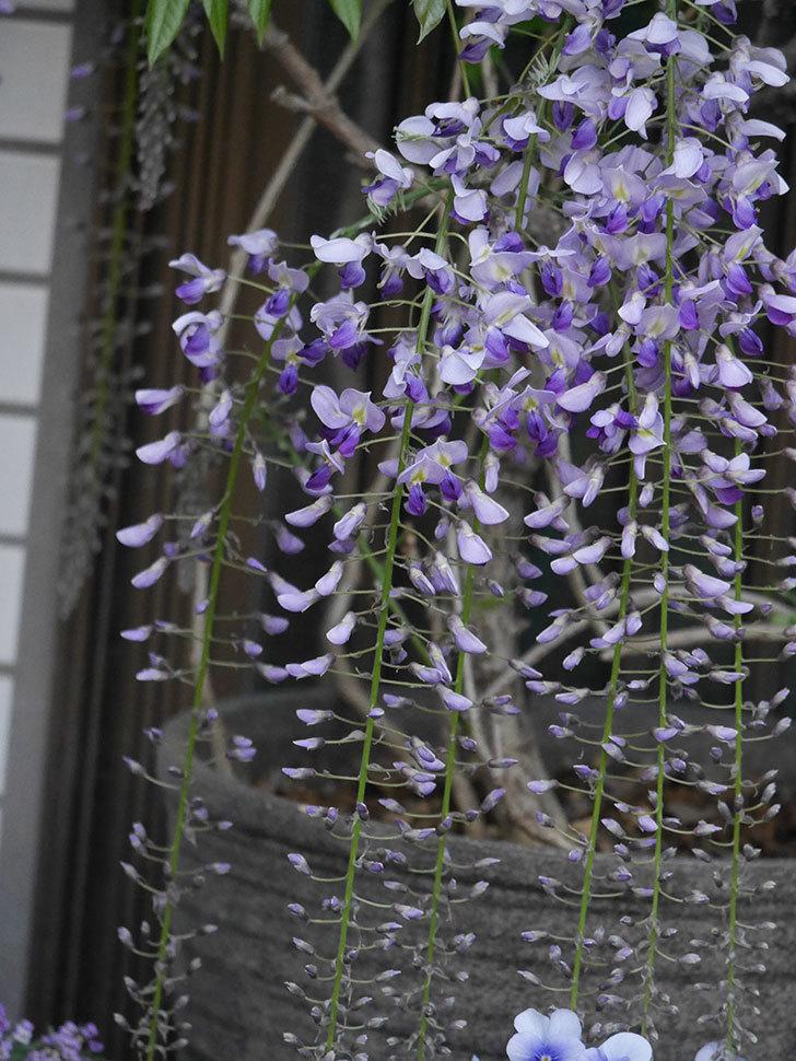 フジ(藤)の花が増えてきた。2021年-031.jpg
