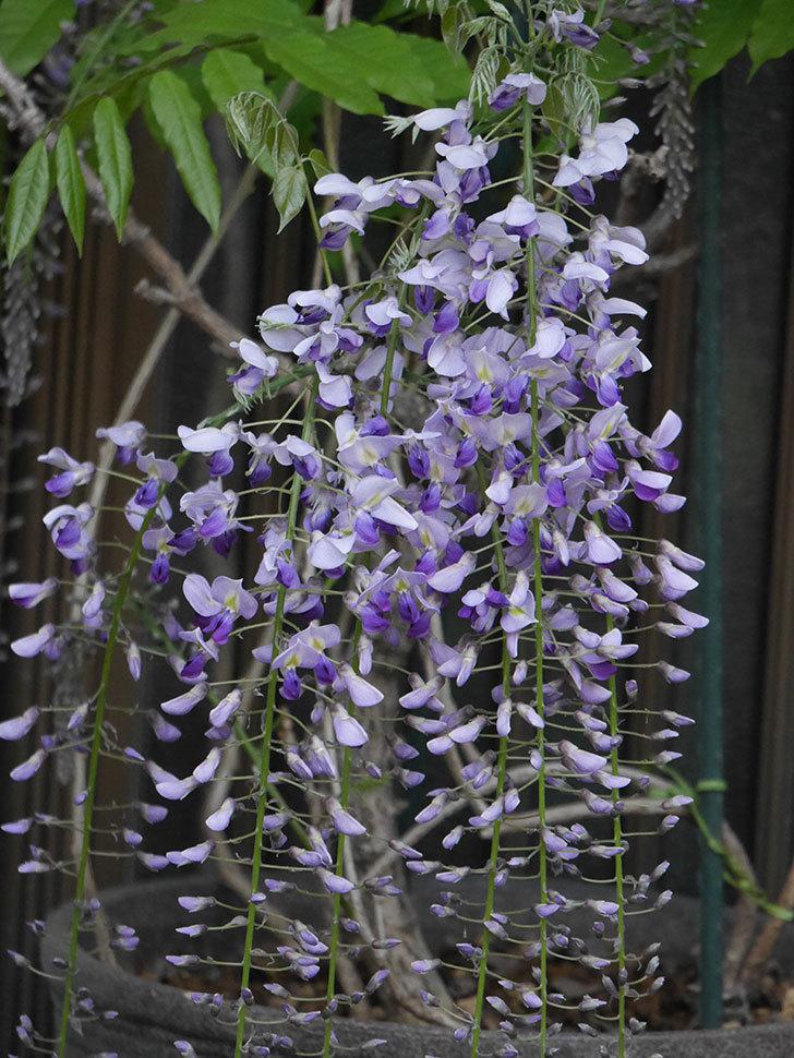 フジ(藤)の花が増えてきた。2021年-032.jpg