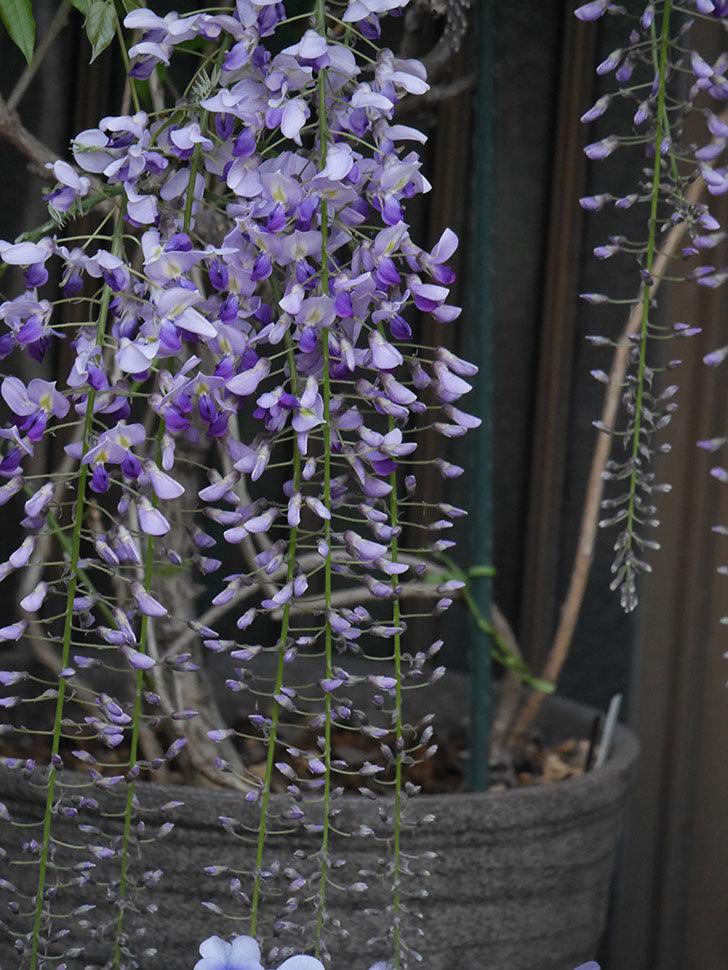 フジ(藤)の花が増えてきた。2021年-033.jpg