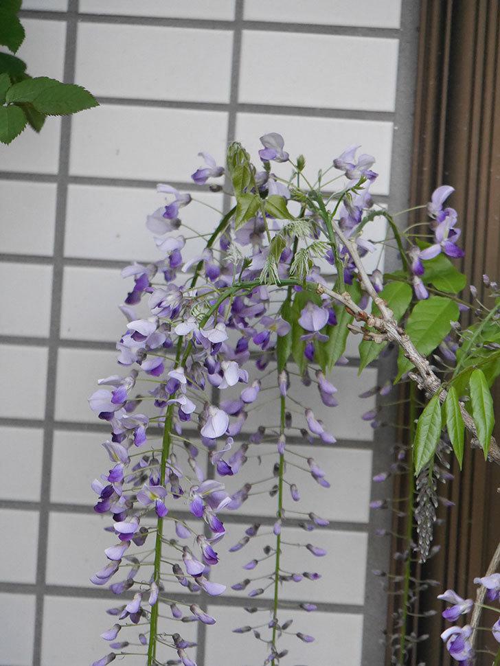 フジ(藤)の花が増えてきた。2021年-035.jpg