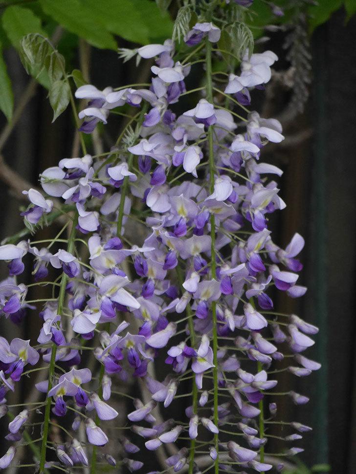 フジ(藤)の花が増えてきた。2021年-036.jpg