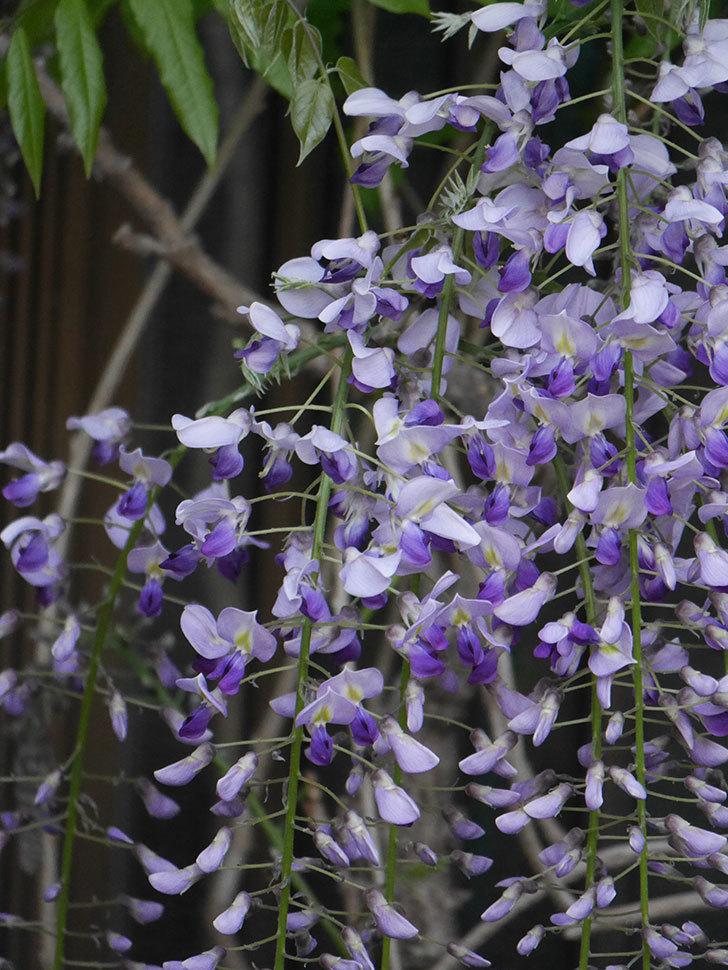 フジ(藤)の花が増えてきた。2021年-037.jpg