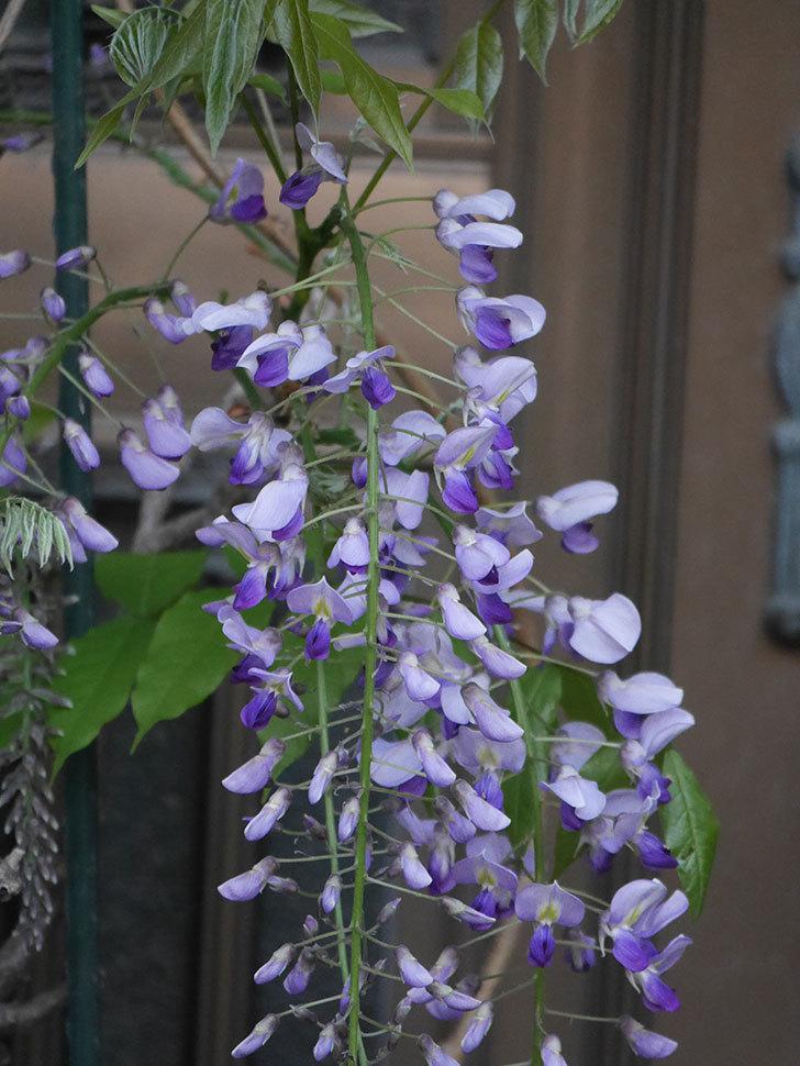 フジ(藤)の花が増えてきた。2021年-038.jpg