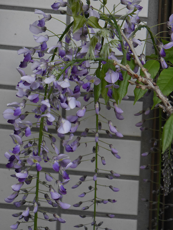 フジ(藤)の花が増えてきた。2021年-039.jpg