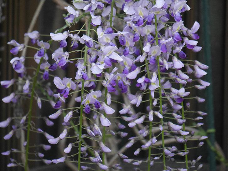 フジ(藤)の花が増えてきた。2021年-041.jpg