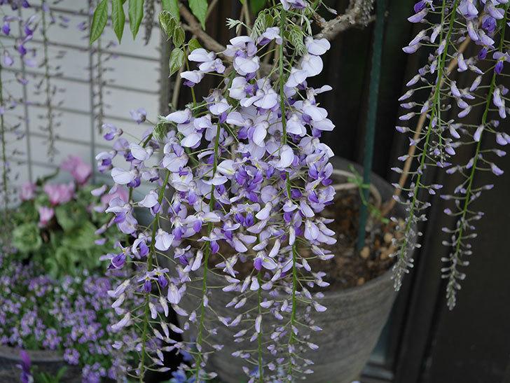 フジ(藤)の花が増えてきた。2021年-042.jpg