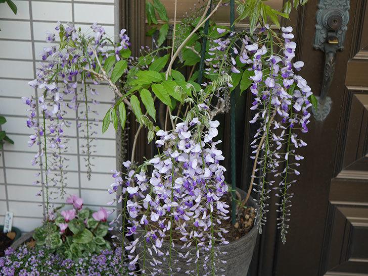 フジ(藤)の花が増えてきた。2021年-043.jpg
