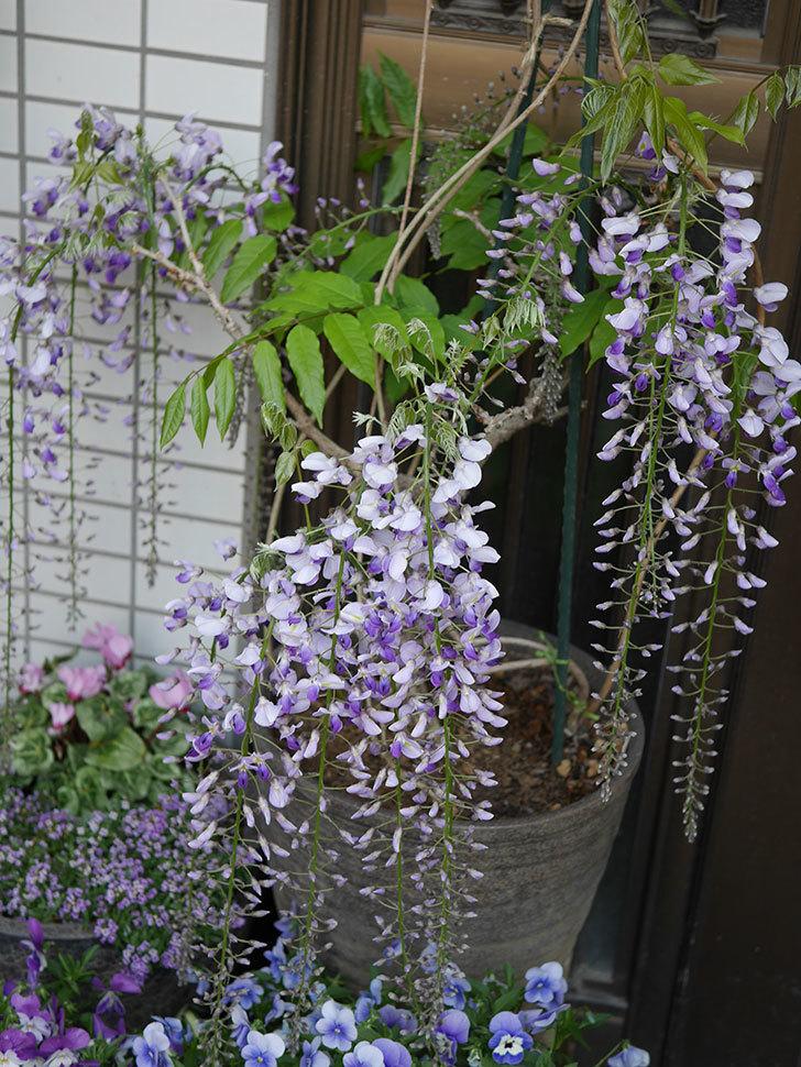 フジ(藤)の花が増えてきた。2021年-044.jpg