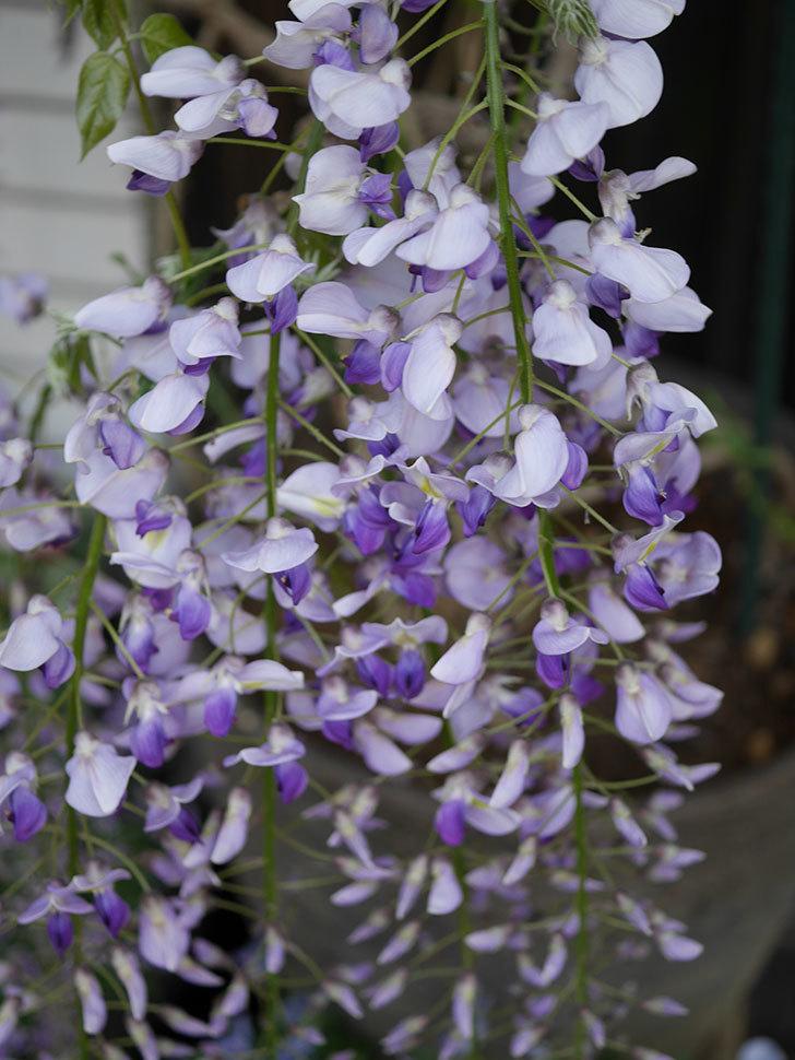 フジ(藤)の花が増えてきた。2021年-045.jpg