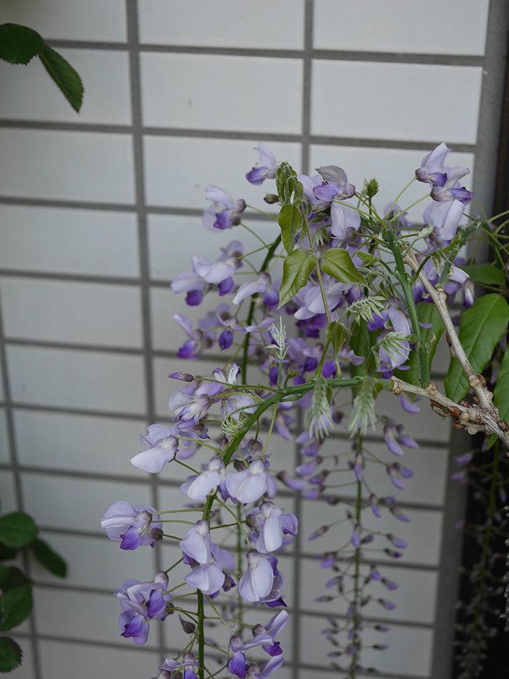 フジ(藤)の花が増えてきた。2021年-047.jpg