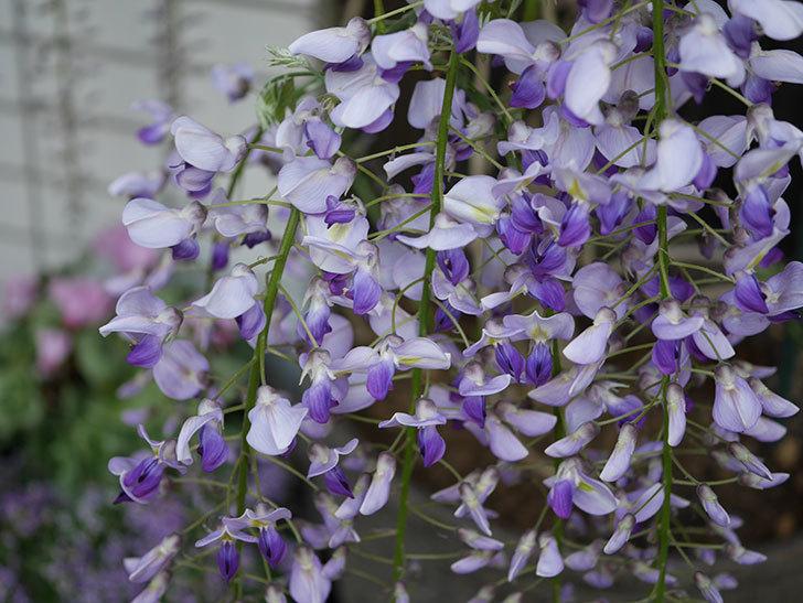 フジ(藤)の花が増えてきた。2021年-048.jpg