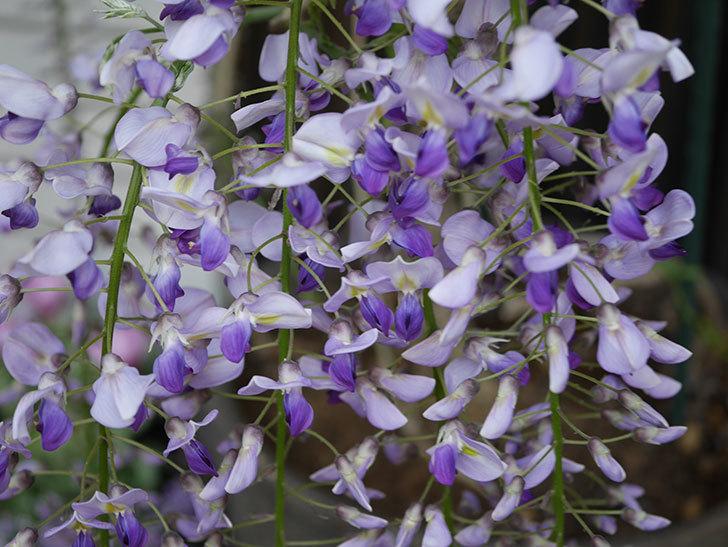 フジ(藤)の花が増えてきた。2021年-049.jpg