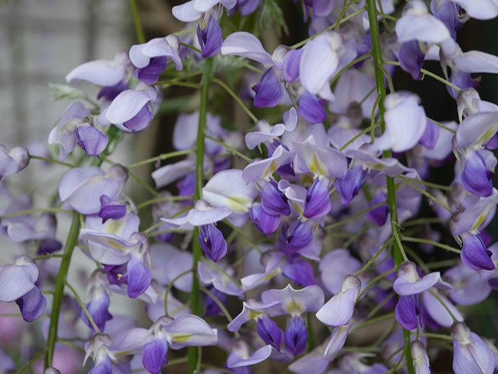フジ(藤)の花が増えてきた。2021年-050.jpg