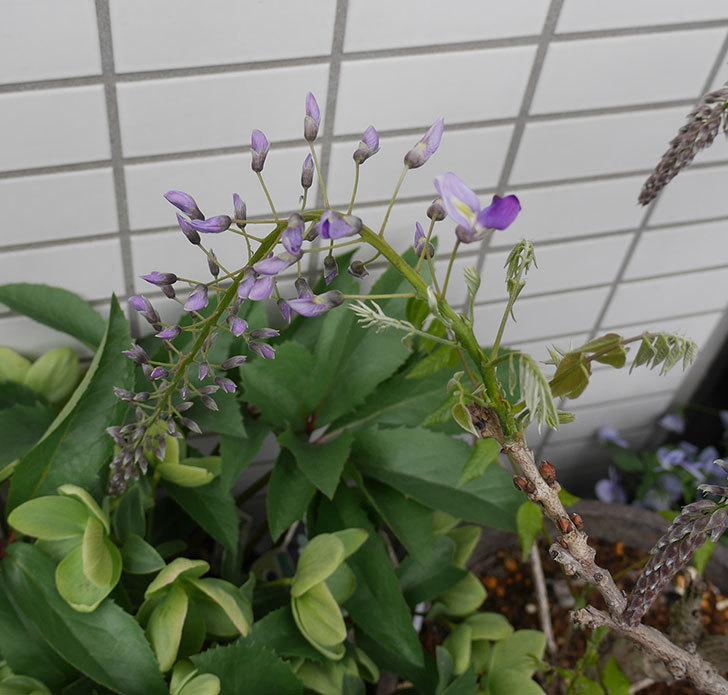 フジ(藤)の花が少し咲いた。2019年-2.jpg