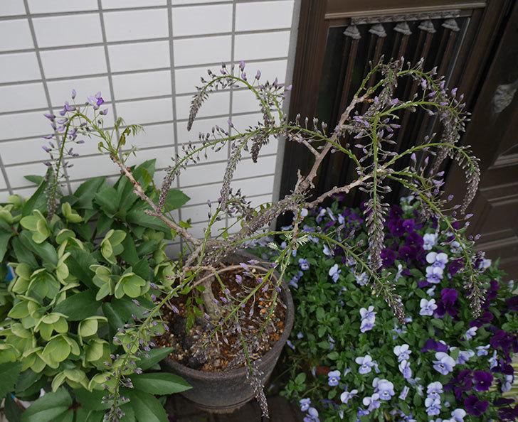 フジ(藤)の花が少し咲いた。2019年-3.jpg