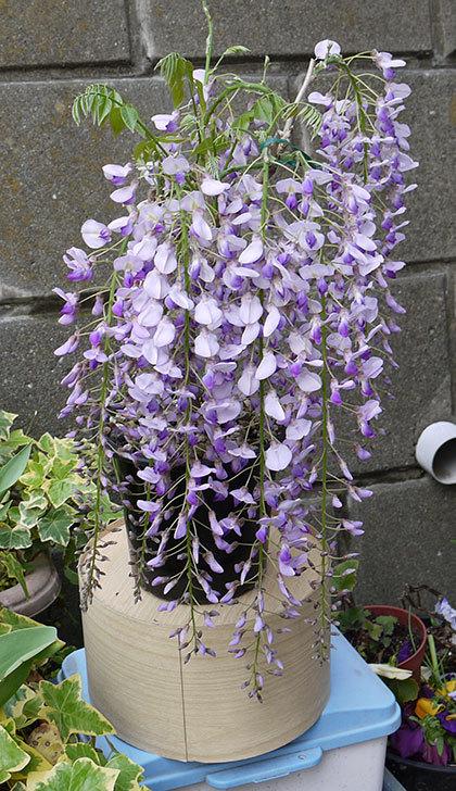 フジ(藤)の花が満開になった2.jpg