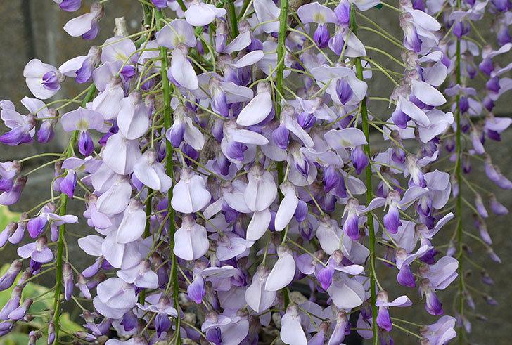 フジ(藤)の花が満開になった3.jpg