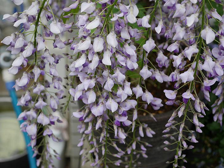 フジ(藤)の花が満開になった。2019年-2.jpg