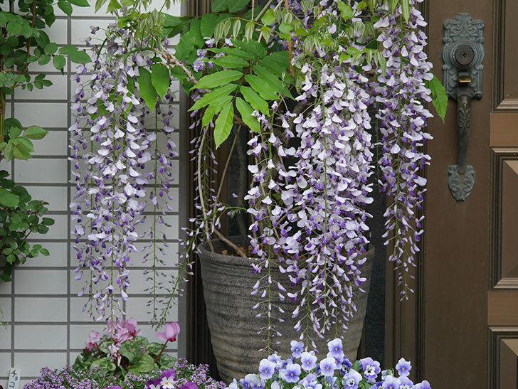 フジ(藤)の花が満開になった。2021年-001.jpg