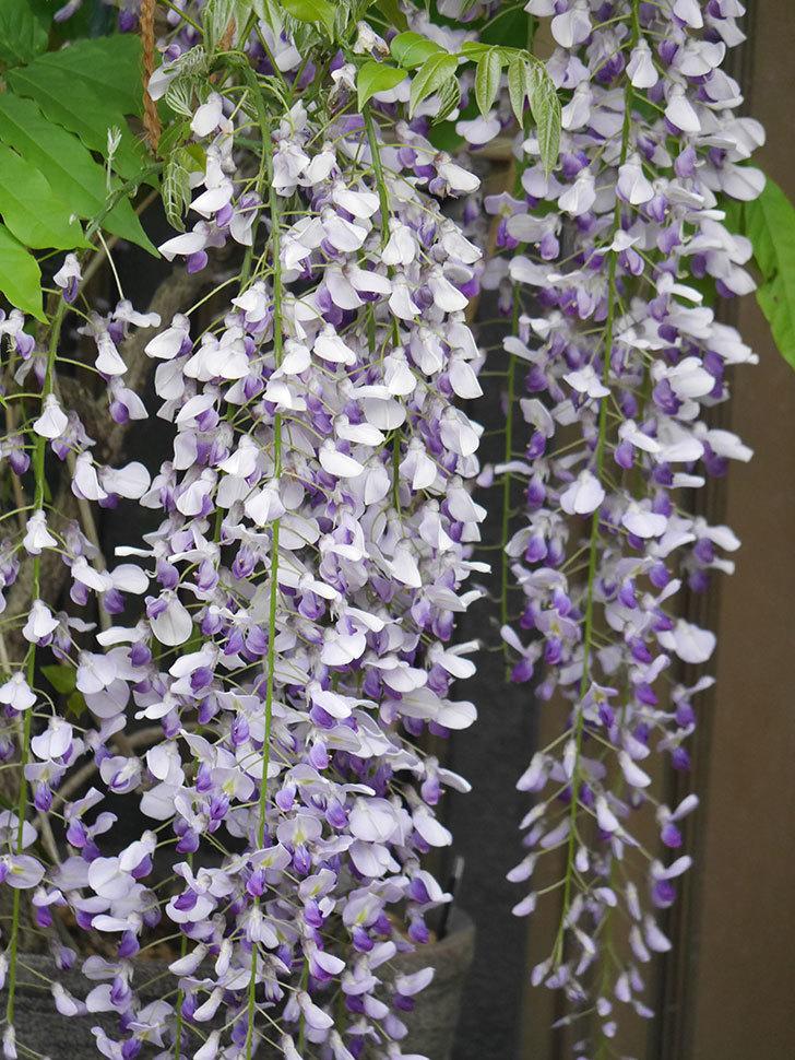 フジ(藤)の花が満開になった。2021年-004.jpg