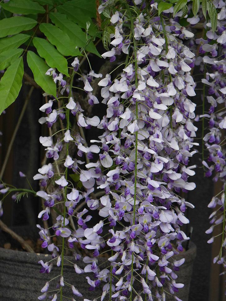 フジ(藤)の花が満開になった。2021年-005.jpg
