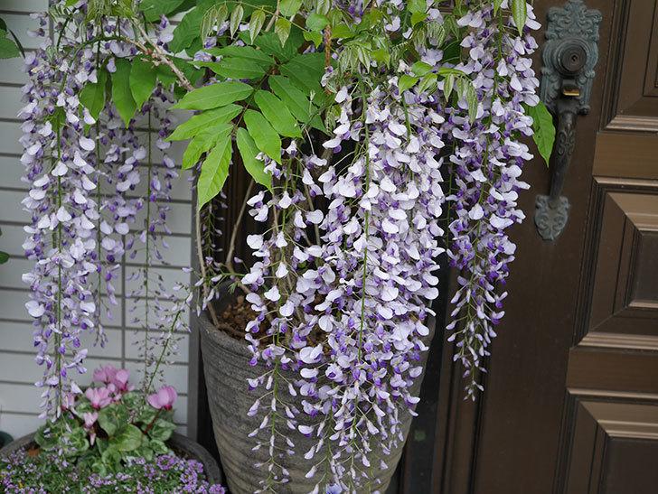フジ(藤)の花が満開になった。2021年-009.jpg