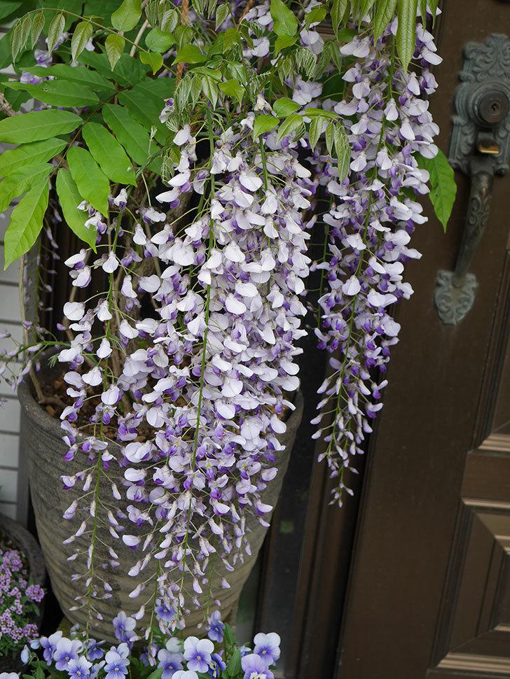 フジ(藤)の花が満開になった。2021年-010.jpg