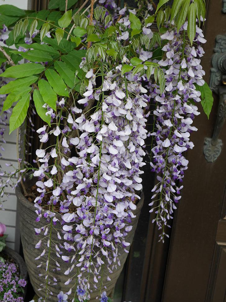 フジ(藤)の花が満開になった。2021年-011.jpg