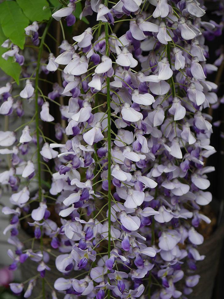 フジ(藤)の花が満開になった。2021年-012.jpg