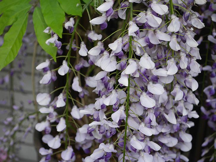 フジ(藤)の花が満開になった。2021年-014.jpg