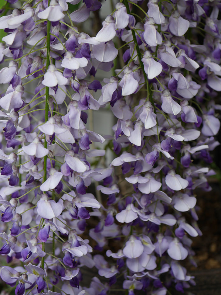 フジ(藤)の花が満開になった。2021年-015.jpg