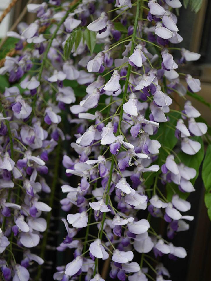 フジ(藤)の花が満開になった。2021年-016.jpg