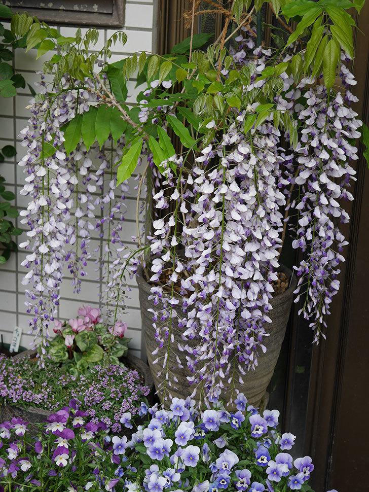 フジ(藤)の花が満開になった。2021年-018.jpg
