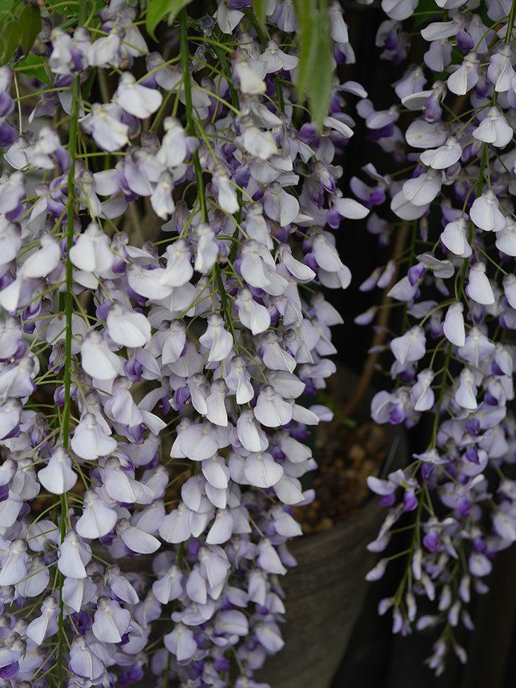 フジ(藤)の花が満開になった。2021年-019.jpg