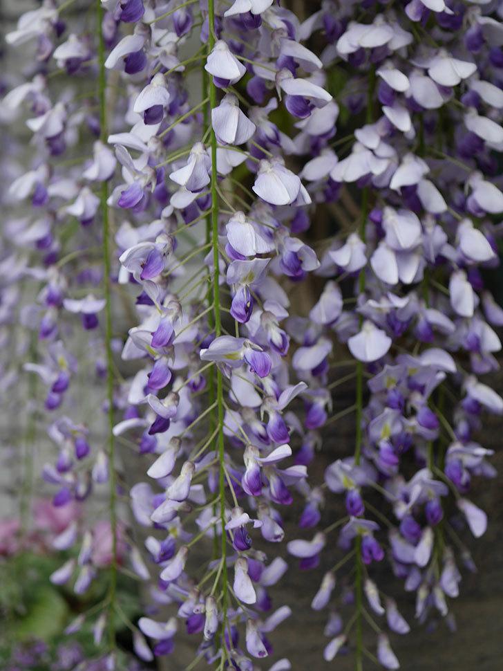 フジ(藤)の花が満開になった。2021年-020.jpg