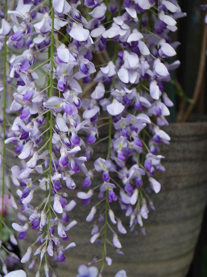 フジ(藤)の花が満開になった。2021年-021.jpg